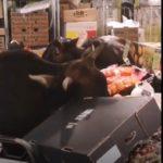 [VIDEO] - CINA: 30 mucche in minimarket fanno razzia di frutta e verdura