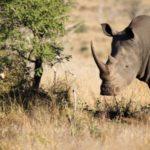 Sud Africa: bracconiere illegale ucciso da un elefante e divorato dai leoni. I suoi resti trovati dopo due giorni