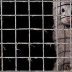 In Germania chiude anche l'ultimo allevamento di animali da pelliccia. Esultano gli animalisti