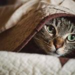 Sorpreso a fare sesso col proprio gatto: arrestato 40enne