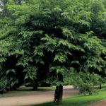 Il Gelso Bianco: un toccasana della natura. Le caratteristiche principali di una pianta tra le più impiegate nella medicina tradizionale