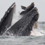 [FOTO] Scatto incredibile: una megattera ingoia un leone marino!